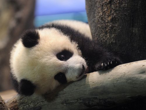 This Timeline Of Cuteness Has Us Even More Excited For The New Baby Panda