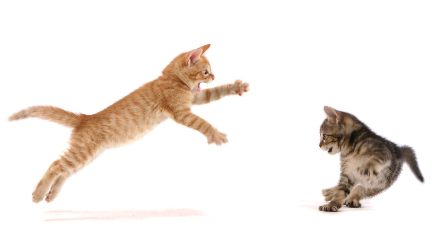 Watch Two Fierce Kittens Recreate 'The Lion King''s Epic Fight Scene